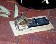 necrophiliac mouse